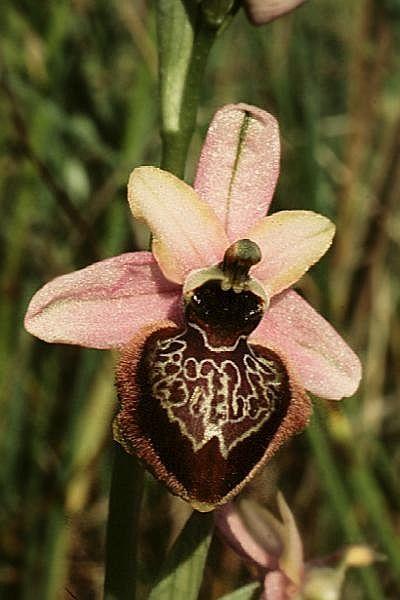 Bee-orchid: Ophrys aveyronensis. Esta especie es endémica a Francia en pastizales cortos, pobres, prados de heno, matorrales y maderas de roble disperso a elevaciones de 400 a 800 metros y es una orquídea terrestre de crecimiento pequeño a mediano, que florece en la primavera sobre una erecta, de 5 a 8 inflorescencia florecida.