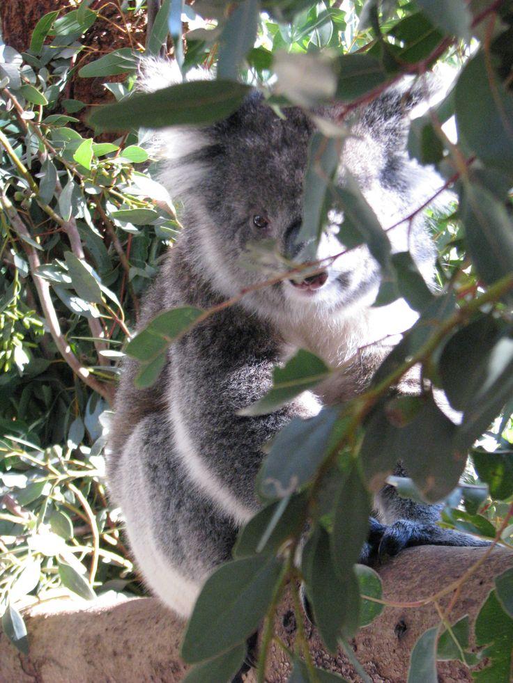 koala caversham wildlife park perth australia. Black Bedroom Furniture Sets. Home Design Ideas