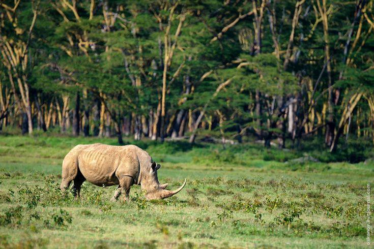 НЕ РАЗ ОЧАРОВАННЫЙ СТРАННИК - Романтизм и носороги