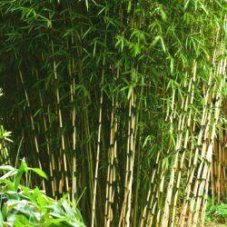 Le Fargesia robusta Cambell : un superbe bambou NON TRACANT polyvalent : Le Bambou Fargesia robusta Campbell est une excellente variété de bambou non traçant très appréciée par les paysagistes. Le Fargesia robusta Campbell permet den effet de faire de belles haies brise-vue, brise-vent, aussi bien en exposition ombragée qu'ensoleillée. Il a un port dressé et peut atteindre 3 ou 4m de haut.En exposition ensoleillée, il faut veiller à bien l'arroser le Fargesia Campbell en période…