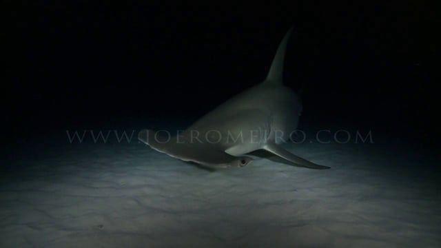 GREAT HAMMERHEAD SHARK  filmed at night  shot by : joe romeiro jan 2013  www.joeromeiro.com