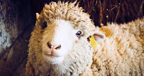 Not only can sheep recognize individual faces, they remember them for years...