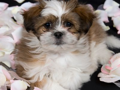 According to the Canadian Shih Tzu Club, these dogs have royal ancestry. Having been originally bred in Tibetan palaces as companion dogs, they have long coats and are relatively quiet. They make perfect house pets for apartments or condos. Positives: They love to spend time with their owner and will curl up next to you wherever you are. They will even sleep in your bed if you let them. They are also easy to train. Negatives: Their coat requires more grooming than other breeds. They must be…