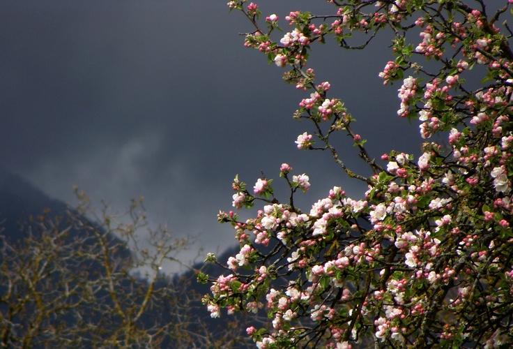 Arbre en fleurs devant le Jura sombre, printemps 2012