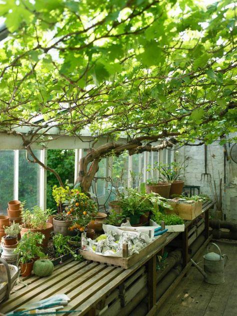 Als je een mooi beschut terras wilt, kun je een hele mooie afscheiding of een overkapping maken met druiven. Druivenstruiken groeien vrij snel en ze zijn erg stevig. Als je een mooi houten frame maakt kun je aan de onderkant meerdere druivenstruikjes planten. Deze struikjes groeien dan uit zich zelf door en over het rek…