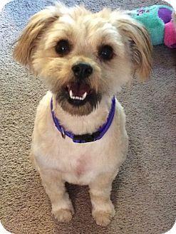 Redondo Beach, CA - Havanese/Lhasa Apso Mix. Meet PeeWee, a dog for adoption. http://www.adoptapet.com/pet/17818676-redondo-beach-california-havanese-mix