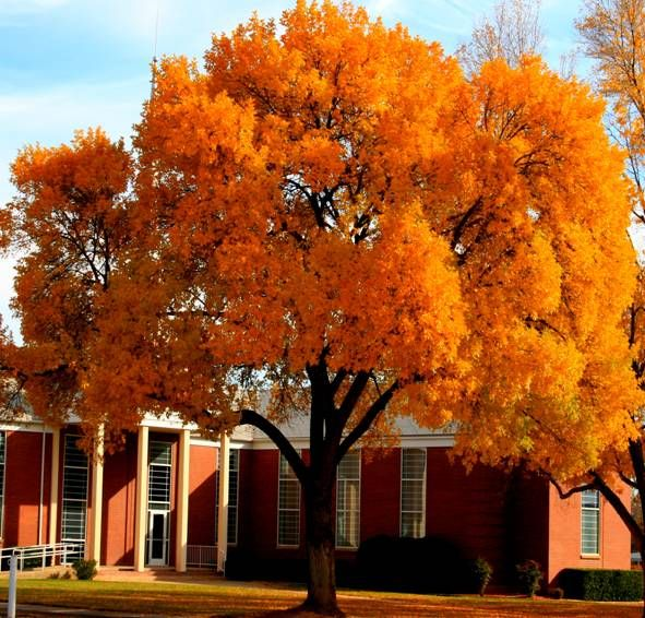 Chinese Pistache - This should be the official tree of the University of TN! Description from pinterest.com. I searched for this on bing.com/images