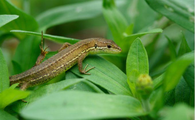 カナヘビとは 生態と特徴 飼育方法を紹介 捕まえ方やトカゲとの違いは Woriver カナヘビ トカゲ ニホントカゲ