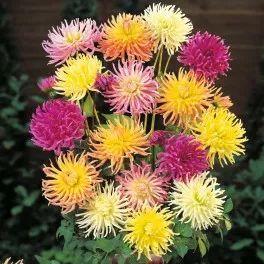 Georgína premenlivá zmes farieb - Dahlia variabilis - semená georgíny - semiačka - 0,5 gr