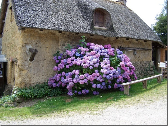 Thatched roof w hydrangeas
