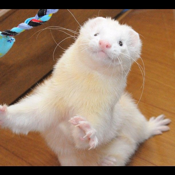 Whoa whoa whoa... That toy's mine. I'm going to need to hide that from you. (Want a ferret so bad!)
