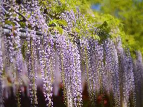 Tips on Growing Wisteria LOOKING for a spectacular climber to cover a wall or arbor? Fast-growing wisteria could be the answer.