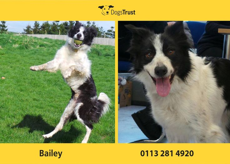 Border Collie Bailey from Dogs Trust Leeds is a very handsome boy in need of an adult only home. He loves his toys as do most collies and would benefit from a large secure garden to play in so he can relax a little after his stay in kennels.