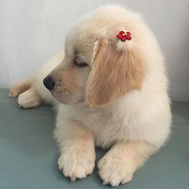 Awwwww...it's a Golden Retriever puppy!