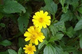 Resultado de imagem para as flores nativas brasileiras