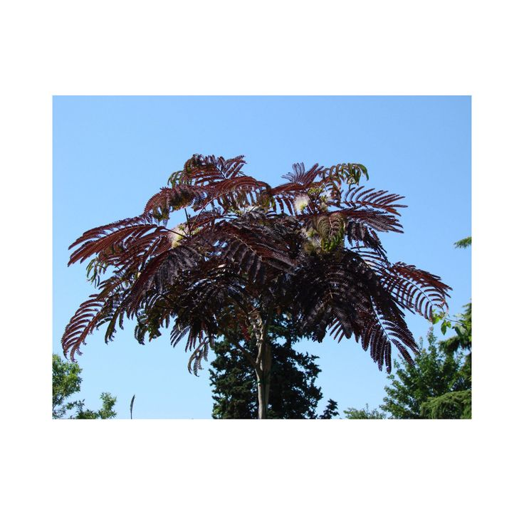 Albizia julibrissin 'Summer Chocolate' (Large Plant)