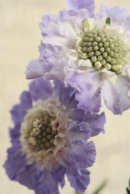 Scabiosa, purple bouquet