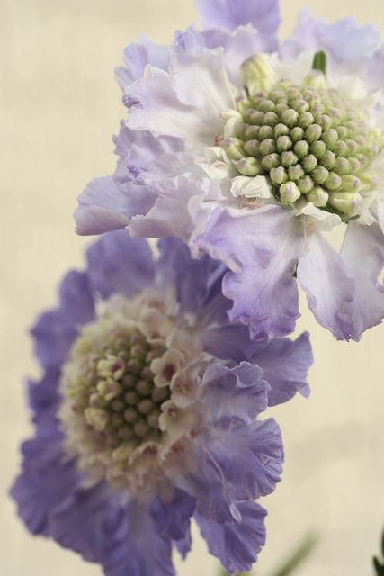 scabiosa purple bouquet | Flickr - Photo Sharing!