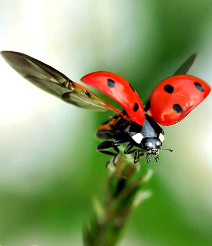In flight a ladybird taking off wow the detail is fantastic