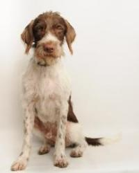 Chuck is an adoptable German Wirehaired Pointer Dog in Santa Cruz, CA. Chuck is about 2 years old. The Santa Cruz SPCA's adoption package for dogs and cats includes spay/neuter, vaccinations, microchi...