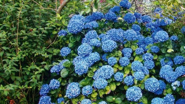 Hydrangeas Varieties Propagation Care Pruning In 2020 Hydrangea Varieties Hydrangea Garden