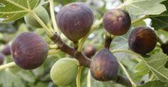 A lo largo del tiempo las hojas de higuera han sido utilizadas como medicina natural debido a sus grandes beneficios en el tratamiento de...
