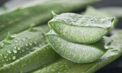 Aloe Vera: 10 ottimi motivi per coltivarla in vaso o in giardino