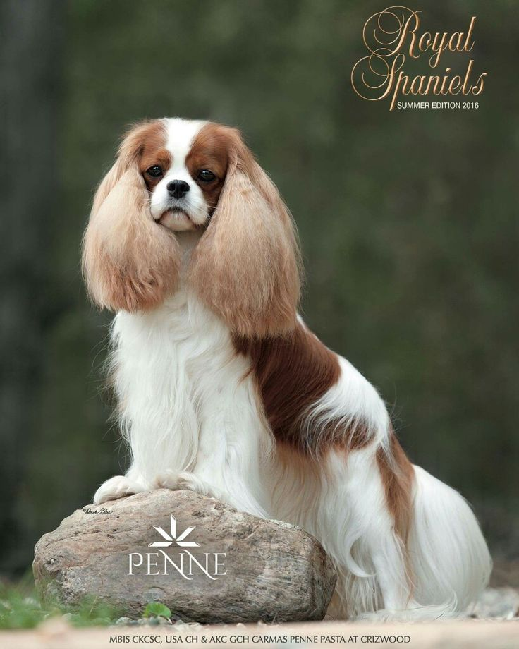 Beautiful Cavalier - Penne on the cover of Royal Spaniels