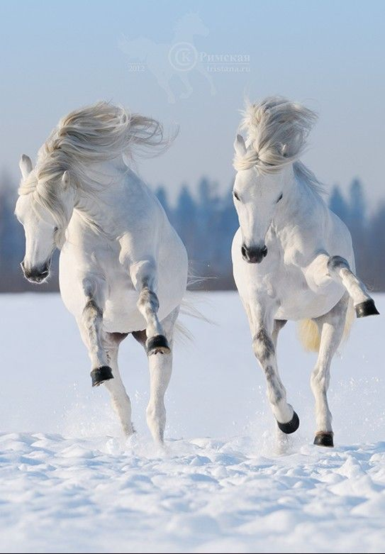 Frolicking fun. ••••(KO) Beautiful beasties loving the snow and the cold. Kicking up their heels, horsy style. (Oooh, platinum blondes!).