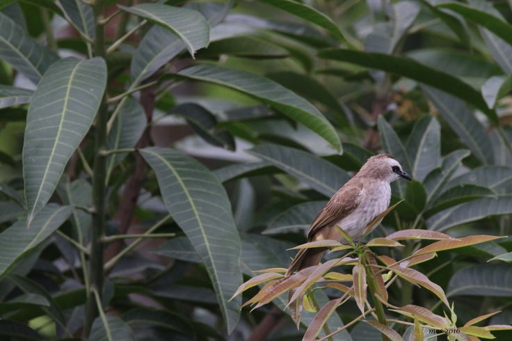 a young yellow-vented bulbul