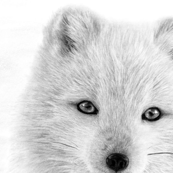 Arctic Fox Digital Drawing Close Up Jill Dimond Art Created On Procreate On The Ipad Pro Digitalart Foxdrawing Arctic Fox Art Fox Art Fox Painting