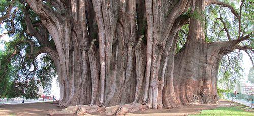 Arbol del Tule.  (Tule tree, Oaxaca)