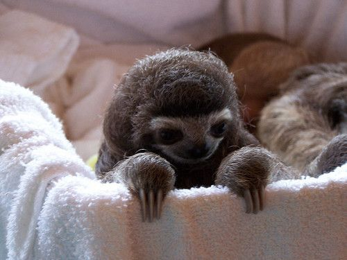 baby sloth: Baby Sloth, Babies, Sloths, Animals, Stuff, Funny, Even, Things