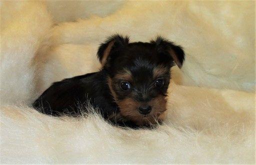 Litter of 4 Yorkshire Terrier puppies for sale in NICHOLSON, GA. ADN-54576 on PuppyFinder.com Gender: Female. Age: 7 Weeks Old