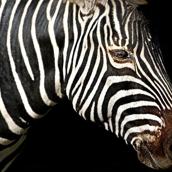 I Am A Zebra