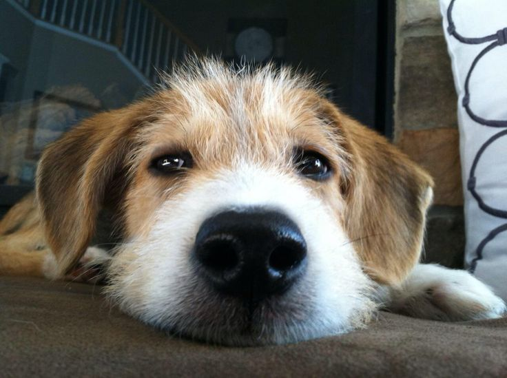 Beagle wire-hair terrier mix | Puppy | Pinterest | Terrier ...