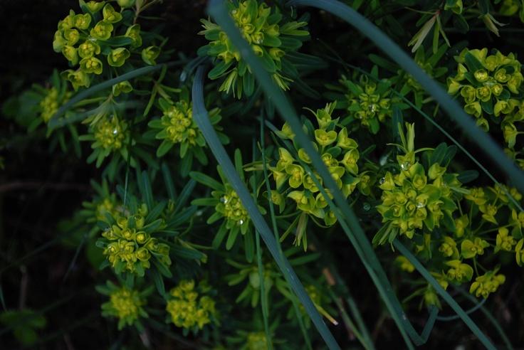 Euphorbia's in Gilly's Garden