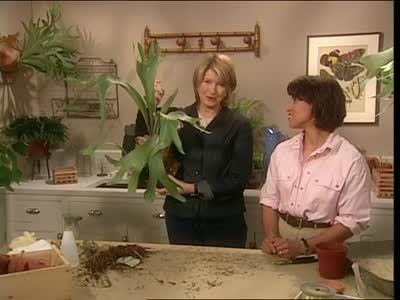 Growing Staghorn Ferns Videos | Home & Garden How to's and ideas | Martha Stewart