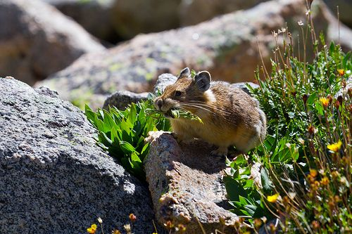 "Pikas are unique residents of the alpine ecosystem. Members of the order Lagomorpha, they are closely related to rabbits and hares. Pikas are diurnal and do not hibernate. They store their food in small piles of ""hay"" under rocks in the rock slides and talus slopes that they live in.  Common Name: American Pika Specific Name: Ochotona princeps August 7, 2010 - Clear Creek County - Summit Lake, Mount Evans Wilderness"