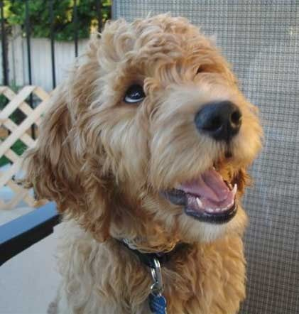 ... on Pinterest | Goldendoodle, Dog collars and Goldendoodle haircuts