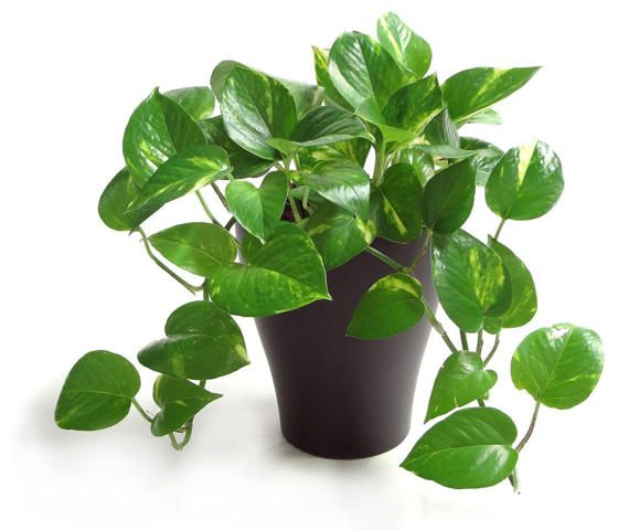 3x Cuttings Golden Pothos Ivy! EASY To GROW! Tropical Vining Plant! FAST  Growing
