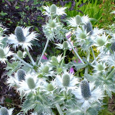 Eryngium giganteum - Miss Willmott's Ghost ...