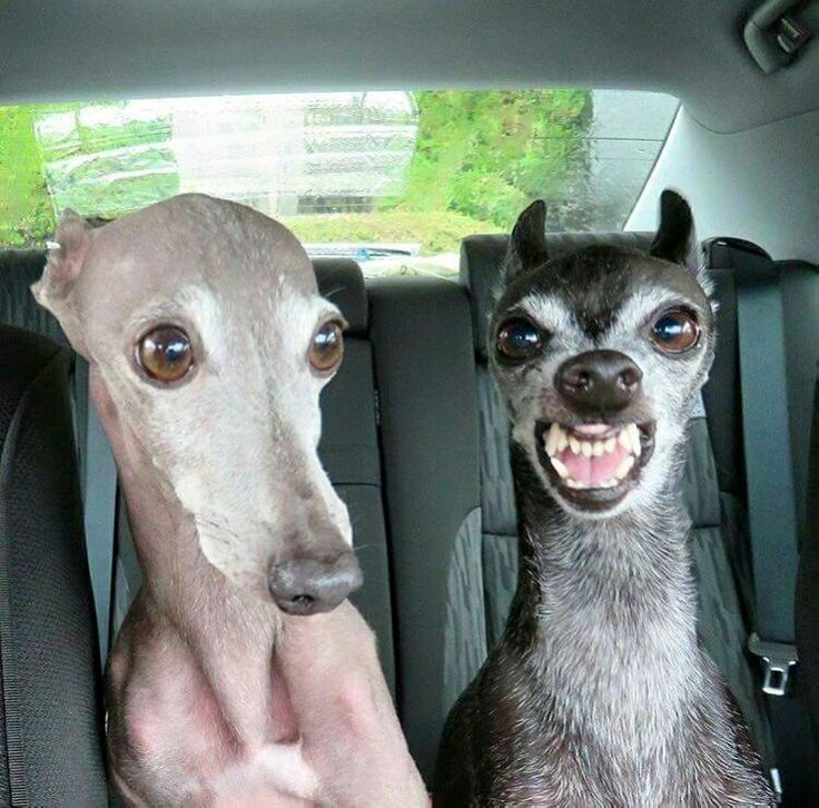 Resultado de imagen para italian greyhound funny