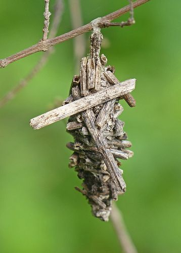 ˚Abbot's Bagworm Moth cocoon (oiketicus abbotii)