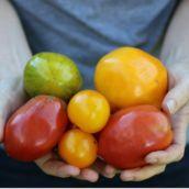 Ways to Prevent Tomato Disease in Your Garden