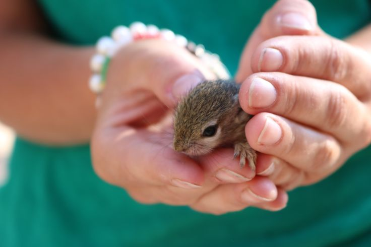 New baby squirrel Buttons at DAKTARI!