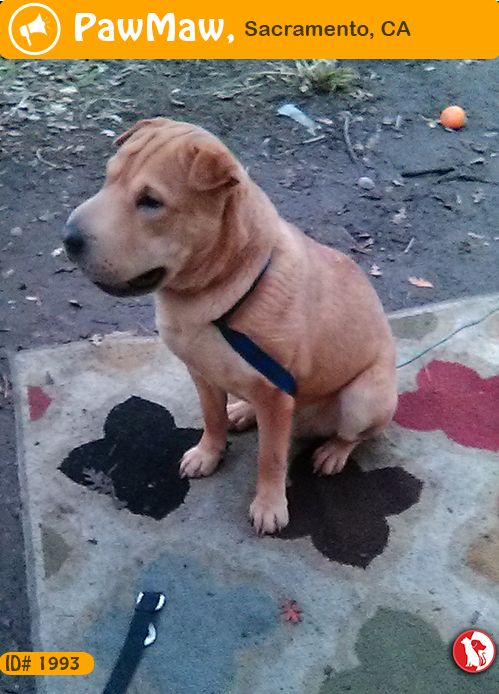 Species Dog Color Tan Gender Male Breed Shar Pei Found Pet Alerts Puppies Pets Dogs