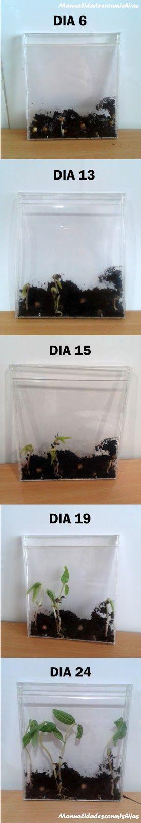 Manualidades con mis hijas: Germinación de plantas en CDS