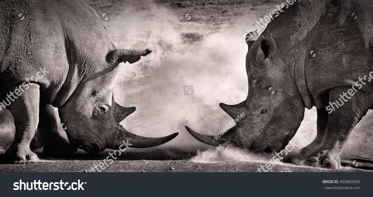 battle a confrontation between two white rhino in the African savannah on the lake Nakuru