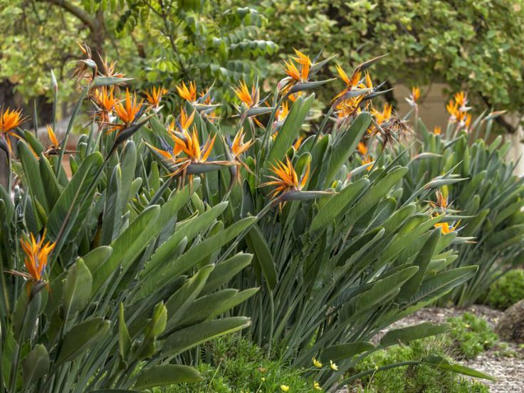 How To Prune A Bird Of Paradise Plant World Of Flowering Plants Birds Of Paradise Plant Paradise Plant Plants